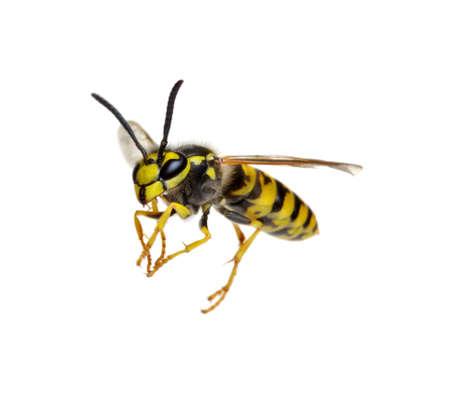 Wespe isoliert auf weißem Hintergrund