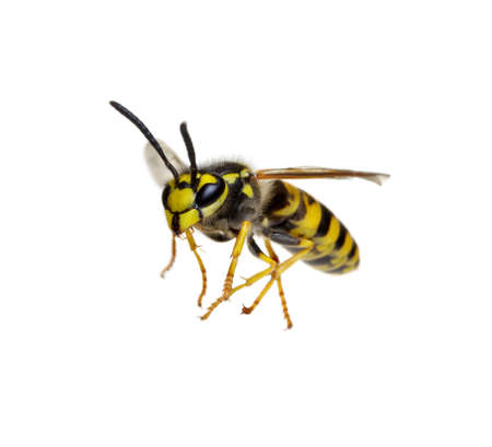 wasp isolated on white background 免版税图像
