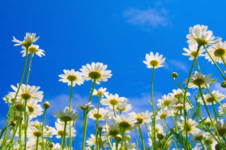 Weiße Kamillen auf blauem Himmelshintergrund