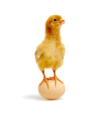 chick and egg isolated on a white background Banque d'images - 120345072