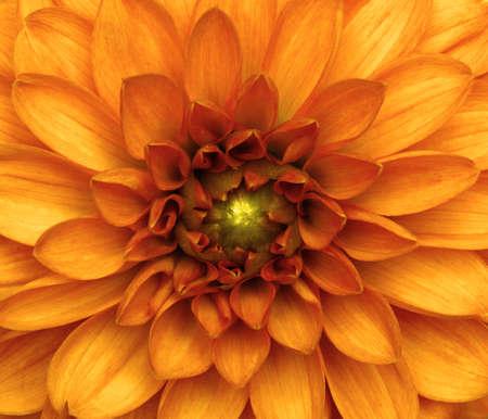 Orange dahlia petals macro, floral abstract background. Banque d'images - 120345113