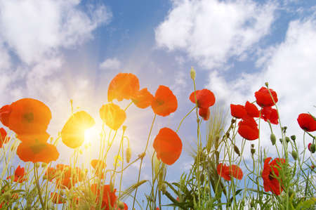Red poppy on field and sun. Banque d'images - 120345123
