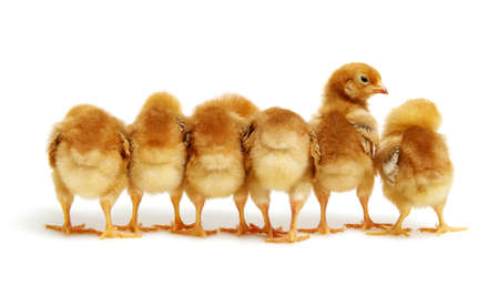 Chicks isolated on white background Banque d'images - 120345125
