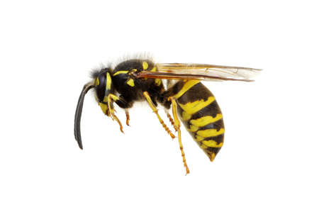 wasp isolated on white background Banque d'images - 120345128