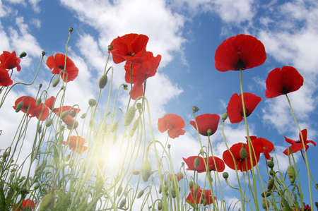 Red poppy on field and sun. Banque d'images - 120345131