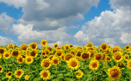 field of blooming sunflowers on a background of blue sky Banque d'images - 120345159