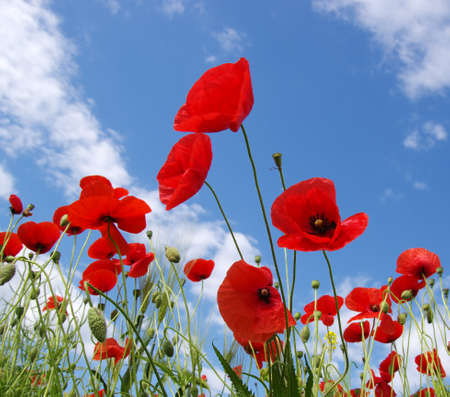 Red poppies on field, sky and clouds Banque d'images - 120345162