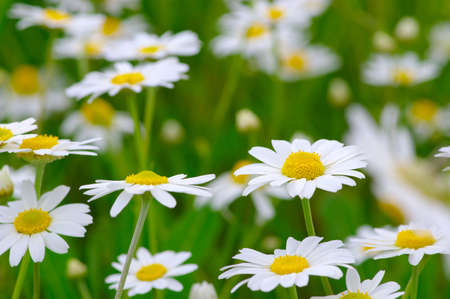 White daisy on green field Banque d'images - 120345165
