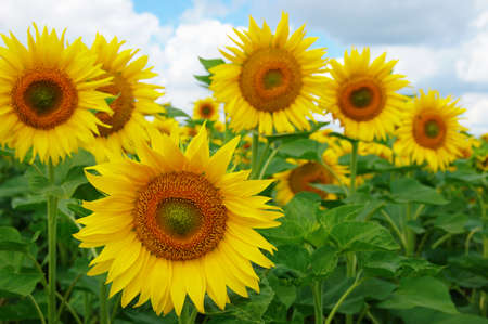 field of blooming sunflowers on a background of blue sky Banque d'images - 120345196