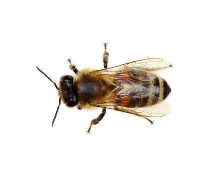 Bee isolated on the white Banque d'images - 120345202
