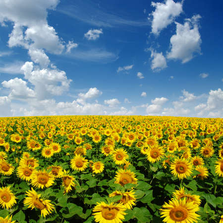 field of blooming sunflowers on a background of blue sky Banque d'images - 120345206