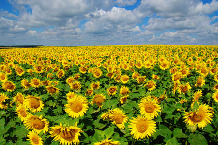 field of blooming sunflowers on a background of blue sky Banque d'images - 120345228