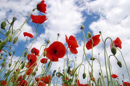 Red poppies on field, sky and clouds Banque d'images - 120345248