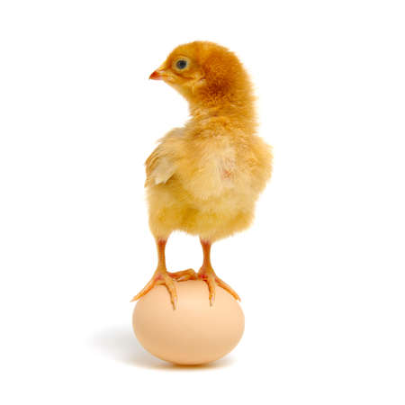 egg and chicken isolated on a white Banque d'images - 120345249