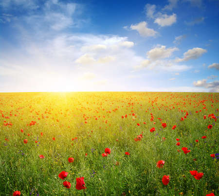 Red poppy on field and sun. Banque d'images - 120345256