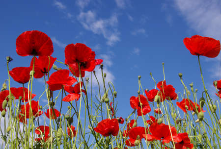 Red poppies on field, sky and clouds Banque d'images - 120345258