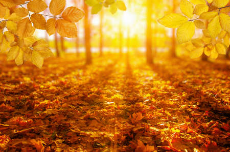Autumn leaves on the sun and blurred trees . Fall background. Stok Fotoğraf - 129813619