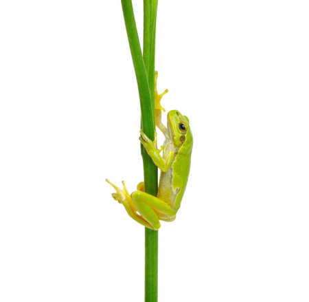 Tree Frog sitting on a green plant isolated on white background