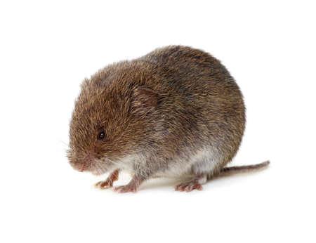 Mouse isolated on white background. Standard-Bild - 130008583