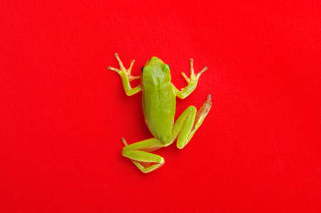 Green tree frog isolated on red background.