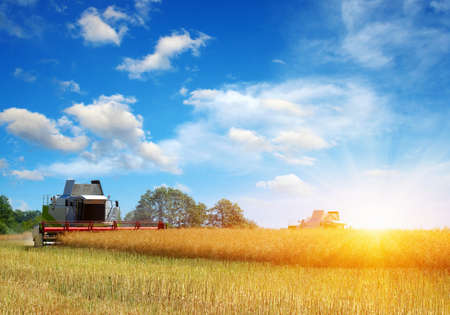 Harvester harvests. Combine working in field. Archivio Fotografico - 130010279