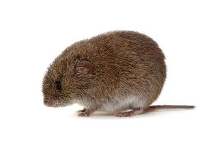 Mouse isolated on white background. Standard-Bild - 130010296