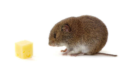 Mouse isolated on white background with cheese Standard-Bild - 130278778