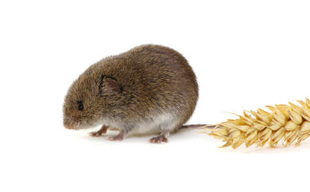 Mouse isolated on a white background with an ear of wheat Standard-Bild - 130280171
