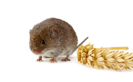 Mouse isolated on a white background with an ear of wheat Standard-Bild - 130280371