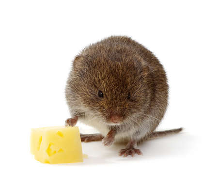 Mouse isolated on white background with cheese Standard-Bild - 130566866