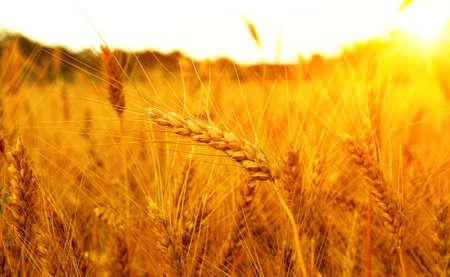 Campo di grano sul sole. Raccolta e concetto di cibo