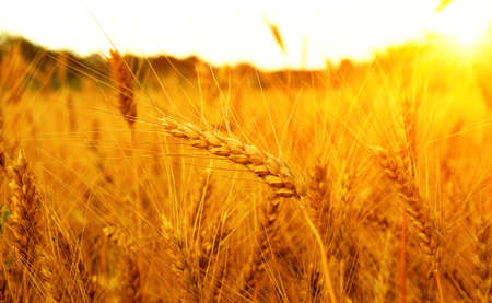 Wheat field on sun. Harvest and food concept