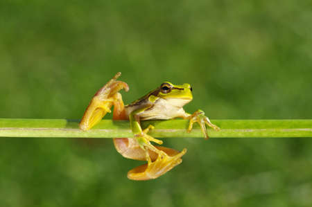 Green tree frog, Hyla arborea, sitting on grass with blurred nature background.