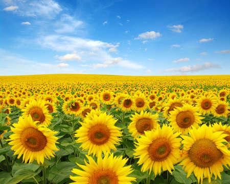 sunflowers field on sky background Zdjęcie Seryjne