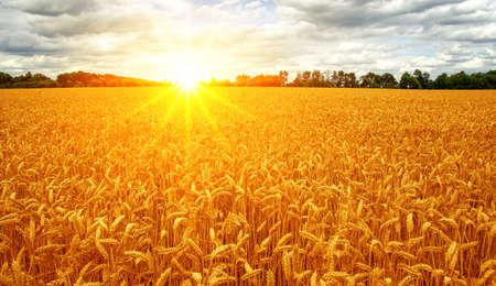 Panorama volante di grano d'oro al tramonto, campagna rurale Archivio Fotografico