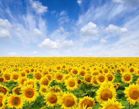 pole słoneczników na tle nieba