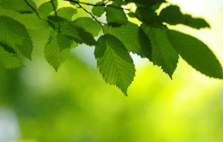 Fondo de primavera, hojas verdes en bokeh borrosa Foto de archivo