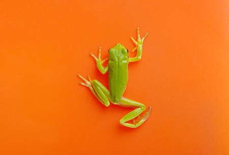 Green tree frog isolated on orange background. Stockfoto