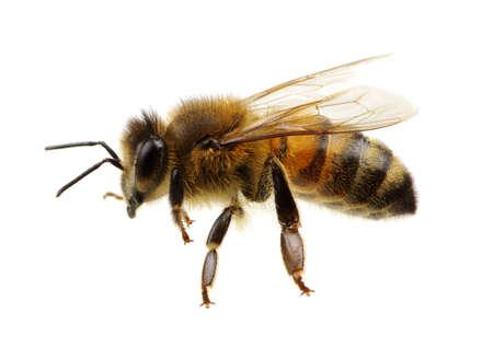 Biene isoliert auf dem Weiß
