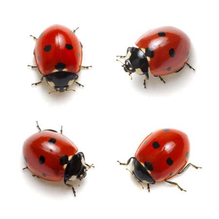 Sammlung von Marienkäfern isoliert auf weiß
