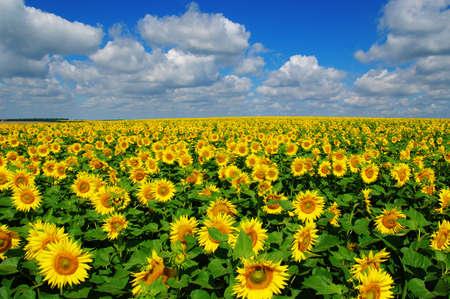 pole kwitnących słoneczników na tle błękitnego nieba