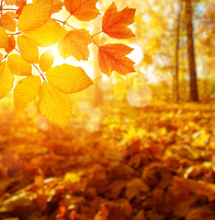 Autumn leaves on the sun and blurred trees. Fall background.