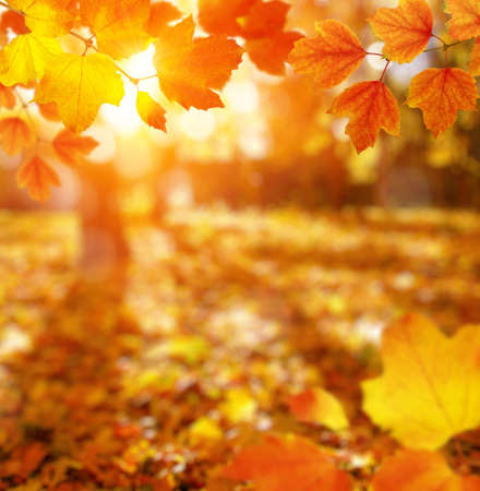 Autumn leaves on the sun and blurred trees. Fall background. Stock fotó - 155445013