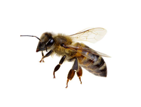 Bee isolated on white background.
