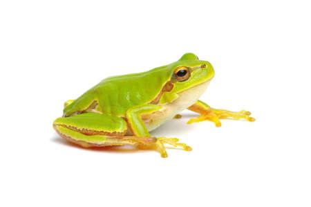 Green tree frog isolated on white background. Standard-Bild
