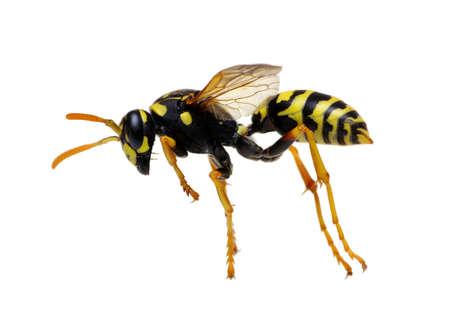 wasp isolated on white background Reklamní fotografie