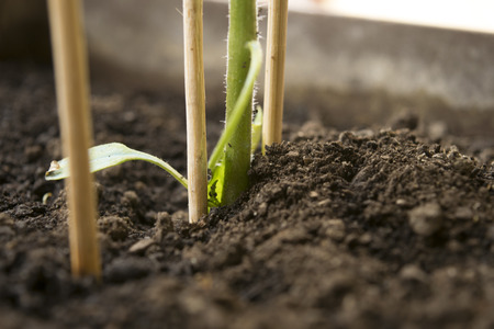 Young tomato plant in dirt supported by wooden sticks