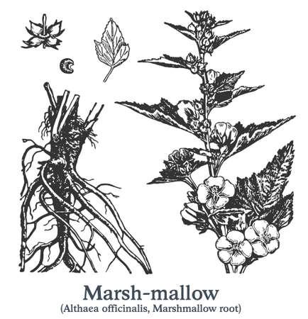 Marsh-mallow. Vector hand drawn plant. Vintage medicinal plant sketch.