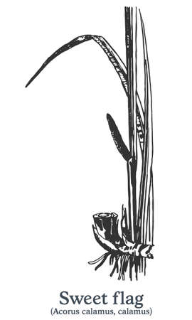 Sweet flag. Vector hand drawn plant. Vintage medicinal plant sketch.