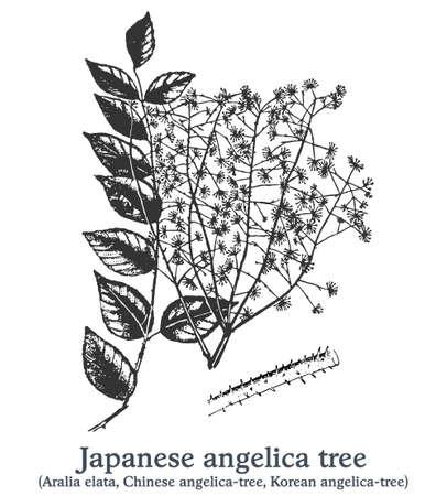 Japanese angelica tree. Vector hand drawn plant. Vintage medicinal plant sketch.